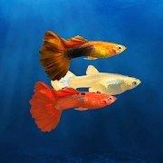 我的孔雀鱼